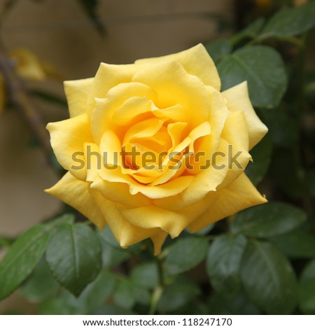 A close up of a yellow rose - stock photo