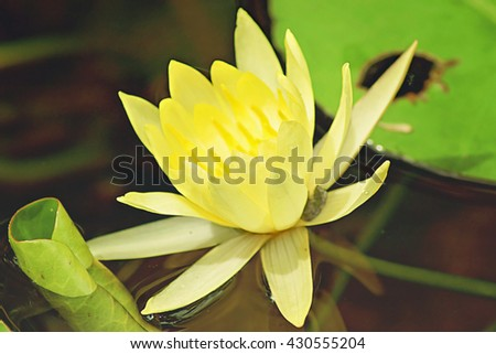 a close up of a yellow water lily in a pond in the Arboretum and Botanic gardens in Houston, Texas - stock photo