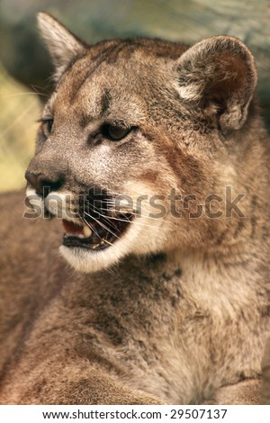 A close-up of a young cougar (puma concolor) - stock photo