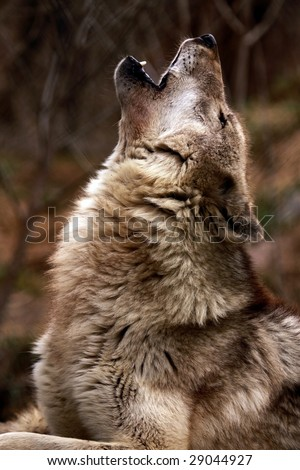 A close-up of an adult female wolf (canis lupus) howling
