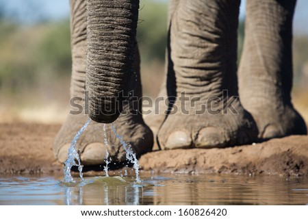 A close up of an African elephant slurping up water with its trunk - stock photo
