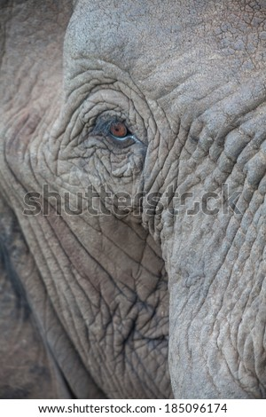 A close-up of an African elephant staring into the camera - stock photo