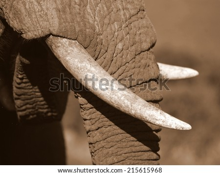A close up of an African elephants tusks. - stock photo