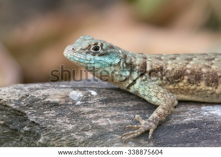 A close up of an Amazon lava Lizard also known as Eastern collared spiny Lizard (Tropidurus torquatus) on a rock, against a blurred natural background, Pantanal Brazil