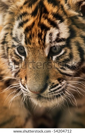 A close-up of an amur (Siberian) tiger (panthera tigris)