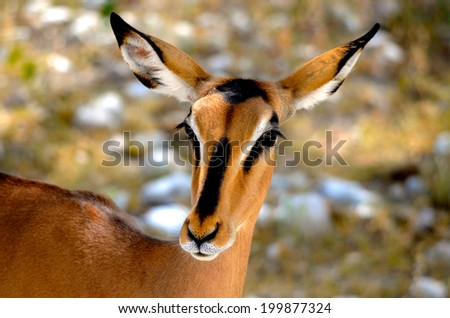 a close up of an antelope in southern africa - stock photo