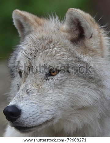 A close up of an Artic Wolf after a rain storm - stock photo