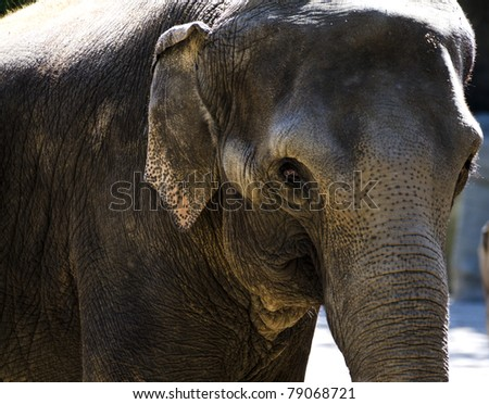 a close up of an asian elephant