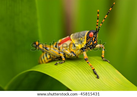 A close up of an Elegant Grasshopper on a leave ( Zonocerus elegans) - stock photo