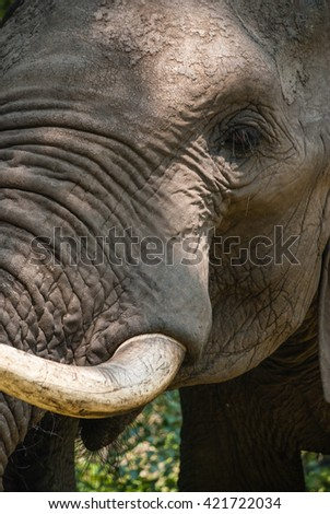 A close up of an elephant in South Africa  - stock photo
