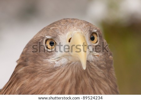 A close-up of an european eagle