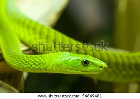 a close-up of an green mamba - stock photo