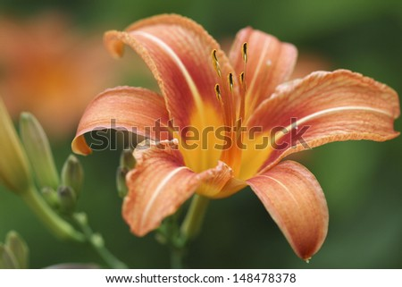 A close up of an orange & yellow lily flower with another flower out of focus in the background.  Swartz Creek, MI, USA.