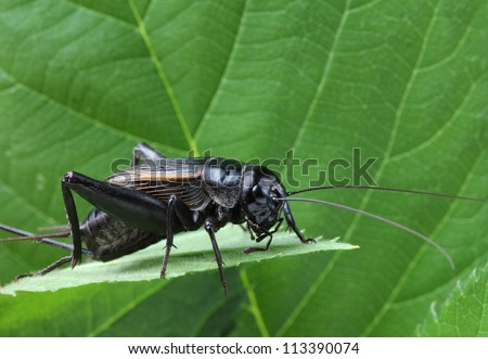 A close up of black cricket on leaf. - stock photo