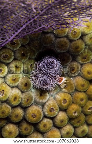 A close up of christmas tree tube worms growing in orange cup coral on a coral barrier reef in the Atlantic ocean. Inside the John Pennekamp State Park in Key Largo, Florida. - stock photo
