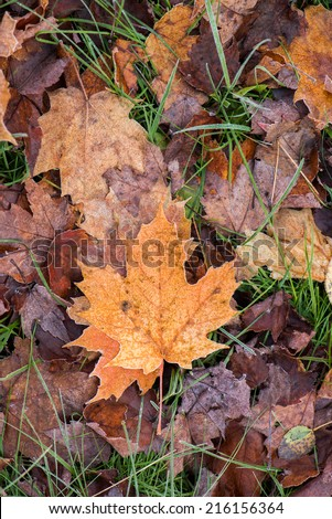A close up of frosted decomposing fall leaves on the ground with green grass.   - stock photo
