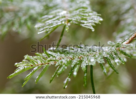A close up of frozen spruce tree needles during the winter season coated in a layer if ice after an ice storm.  - stock photo