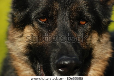 A close up of german shepherd eyes and face.