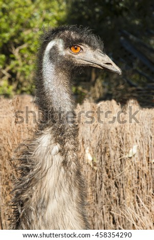 a close up of one emu with long neck head view - stock photo