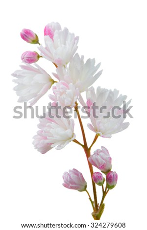 A close-up of pretty pinkish white deutzia scabra flowers on a white background - stock photo