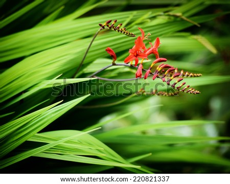 A close up of some Crocosmia Lucifer flowers in bloom and as buds in a garden during the summer.