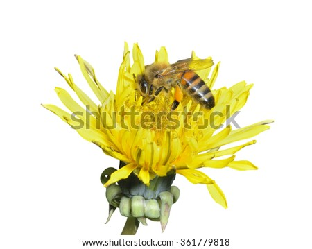 A close up of the bee on dandelion. Isolated on white. - stock photo
