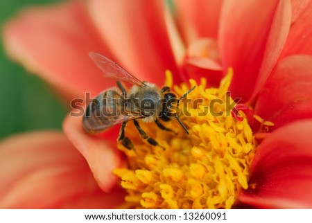 A close-up of the bee on the red flower