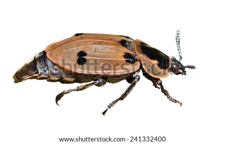 A close up of the beetle (Silphidae). Isolated on white. - stock photo