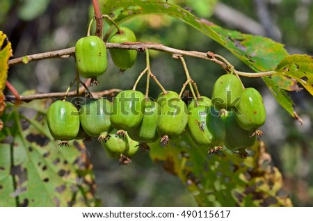 A close up of the berries on Far-East (Actinidia arguta) (hardy kiwi).