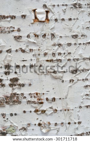 A close up of the birchbark with drops of juice. - stock photo