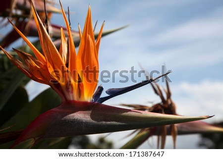 A close-up of the Bird of Paradise ( or Strelitzia ) flower