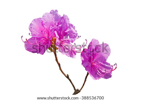 A close up of the blooming branch of the rhododendron. Spring. Isolated on white. - stock photo
