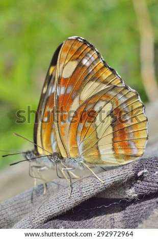 A close up of the butterfly (Neptis thisbe), profile. - stock photo