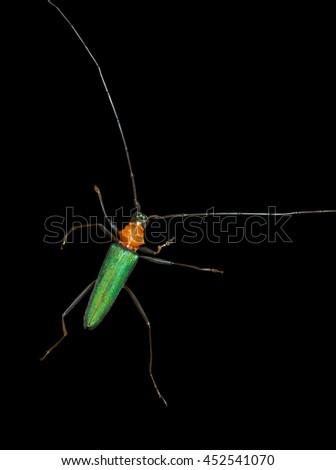 A close up of the Capricorn beetle (Chloridolum sieversi). Isolated on black. - stock photo