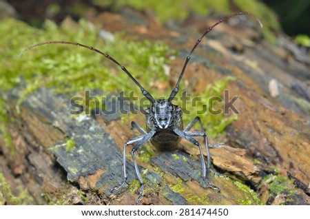 A close up of the Capricorn beetle on old log. - stock photo