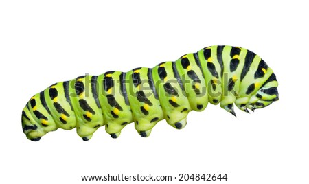 A close up of the caterpillar (Papilio xuthus). Isolated on white. - stock photo