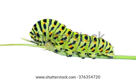 A close up of the caterpillar (Papilio xuthus). Isolated on white.