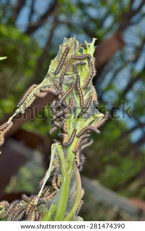 A close up of the caterpillars on leaves. - stock photo