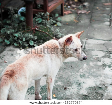A close-up of the Chinese rural dog - stock photo