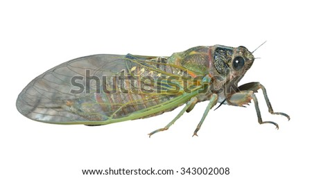 A close up of the cicada. Isolated on white. - stock photo