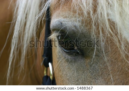 A close-up of the eye of an Austrian haflinger pony, wearing a show halter set with small crystals