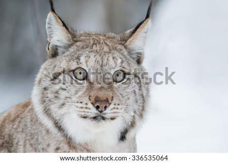 A close up of the face of a Eurasian Lynx - stock photo