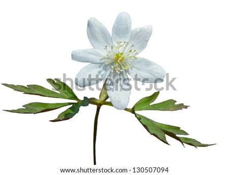 A close up of the flower anemone. Isolated on white.
