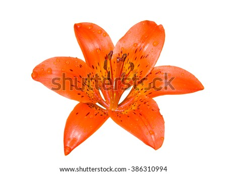 A close up of the flower of lily (Lilium pensylvanicum) with drops of rain on petals. Isolated on white. - stock photo