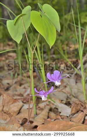 A close up of the flowers barrenwort (Epimedium macrosepalum). - stock photo
