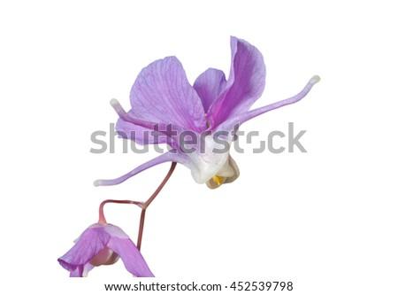 A close up of the flowers barrenwort (Epimedium macrosepalum). Isolated on white. - stock photo