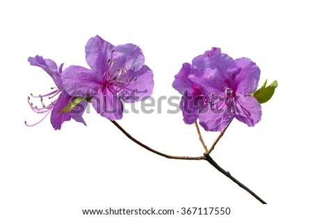 A close up of the flowers of rhododendron (Rhododendron mucronulatum). Isolated on white. - stock photo