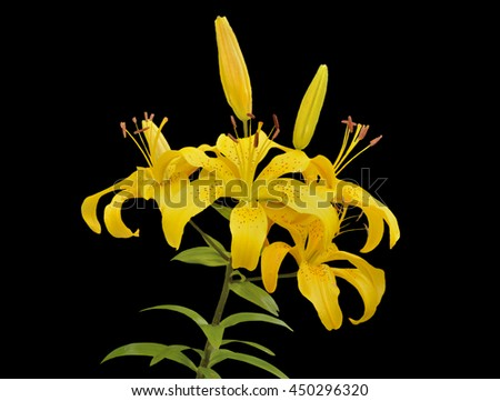 A close up of the flowers yellow lily. Isolated on black. - stock photo