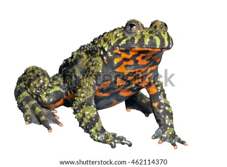 A close up of the frog (Far-eastern Fire-bellied Toad) (Bombina orientalis). Isolated on white.