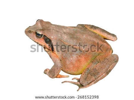 A close up of the frog (Rana dybowskii). Isolated on white. - stock photo